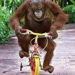 An orangutan monkey riding a bike