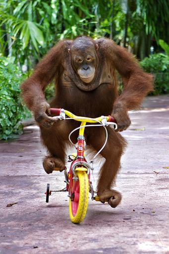 An-orangutan-monkey-riding-a-bike.jpg